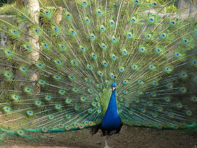 перо павлина цвета