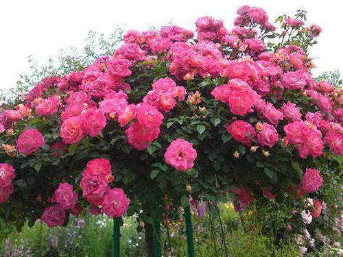 Роза на штамбе