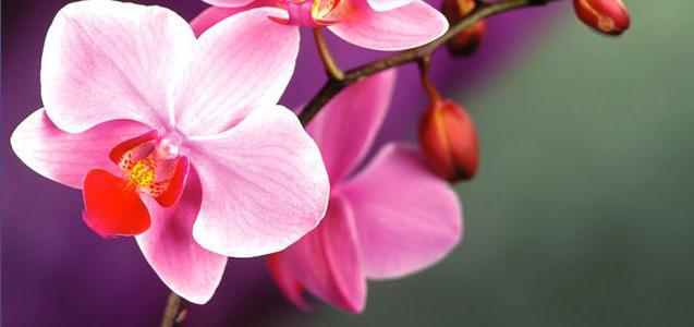 уход за орхидеей после покупки в магазине
