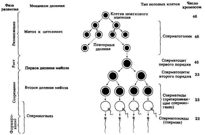 Отличия между овогенезом и сперматогенезом клетки предшественницы половых