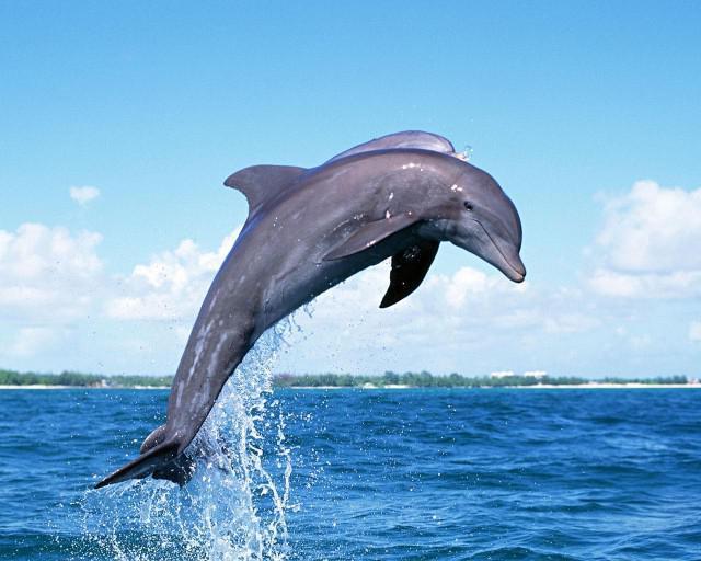 Дельфины самцы половой член см