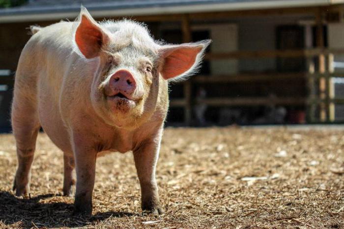 Построить сарай для свиней без больших затрат