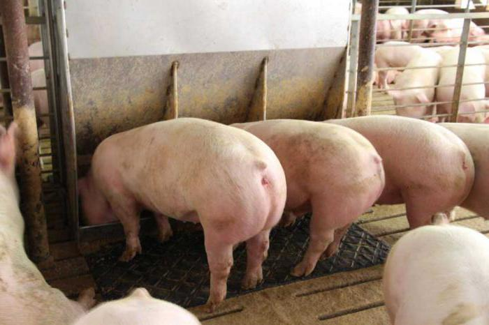 Домашний сарай для свиней