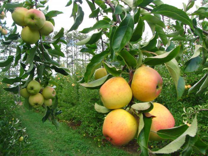 Яблуні на карликовій підщепі сорти