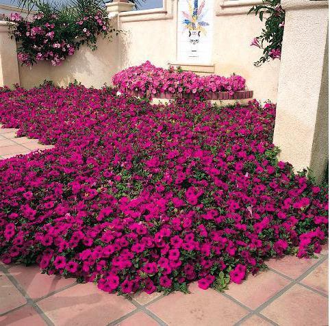 петуния джоконда пурпурная многцветковая стелющаяся каскадная