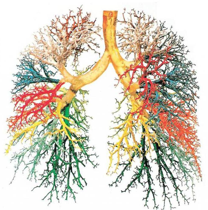Функции трахеи и бронхов в дыхательной системе thumbnail