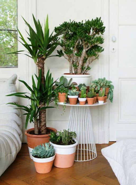 какие комнатные растения приносят несчастье