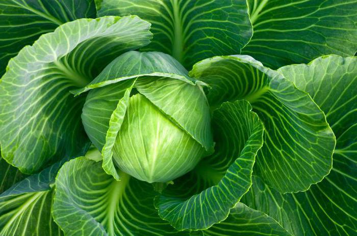 польза сырой капусты для организма