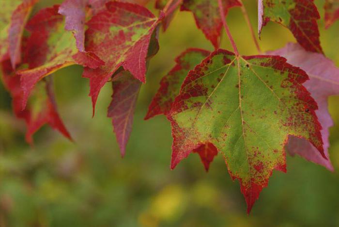 Какое дерево последним сбрасывает листву осенью