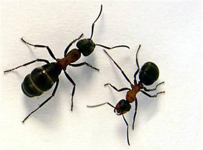масло муравьиное для удаления нежелательных волос отзывы
