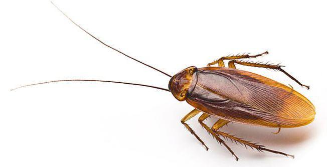 домашнее насекомое