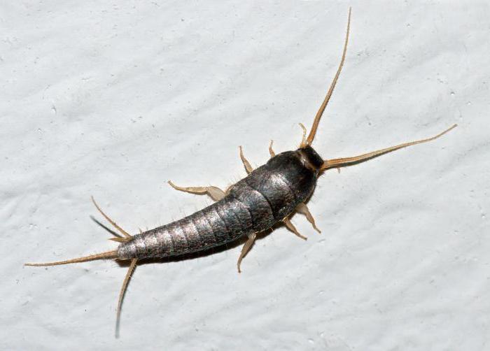 многоножка насекомое