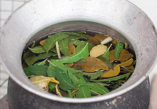 Листья эвкалипта: применение и свойства