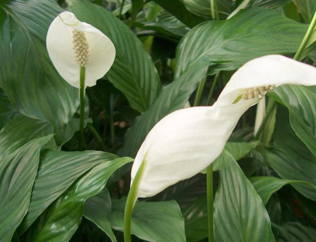 почему не цветет спатифиллум выпускает только листья