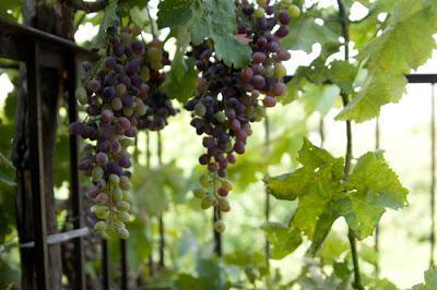 виноград выращивание из косточек
