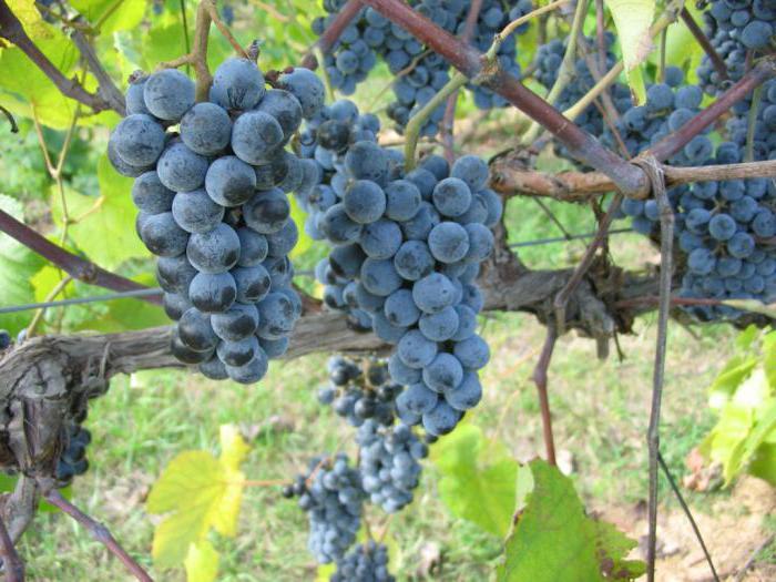 способы выращивания винограда