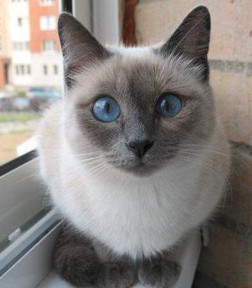 Черный кот с голубыми глазами