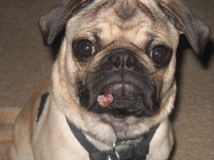 Папилломы у собаки как лечить в домашних условиях