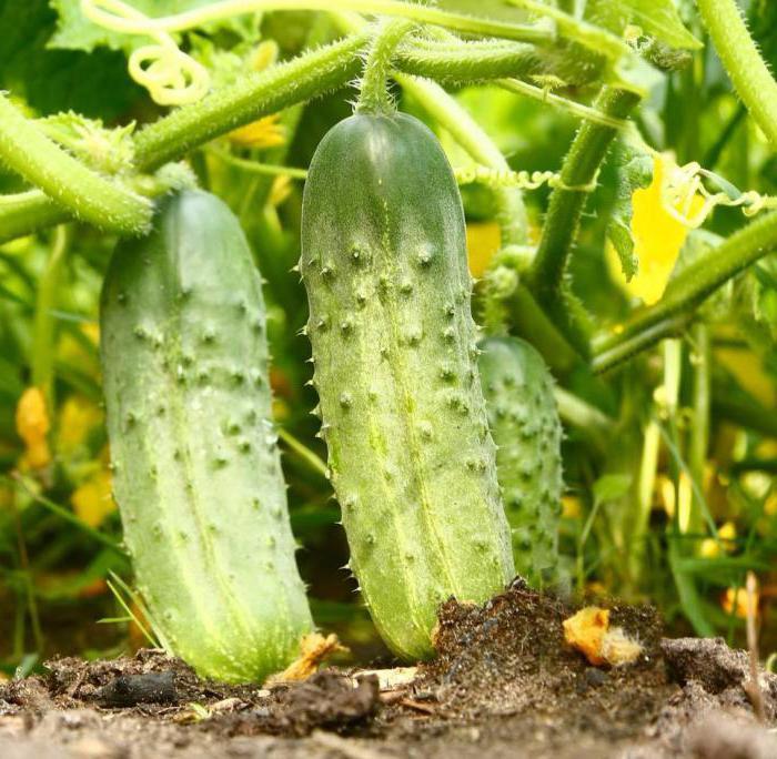 Огурец родничок выращивание в теплице 37