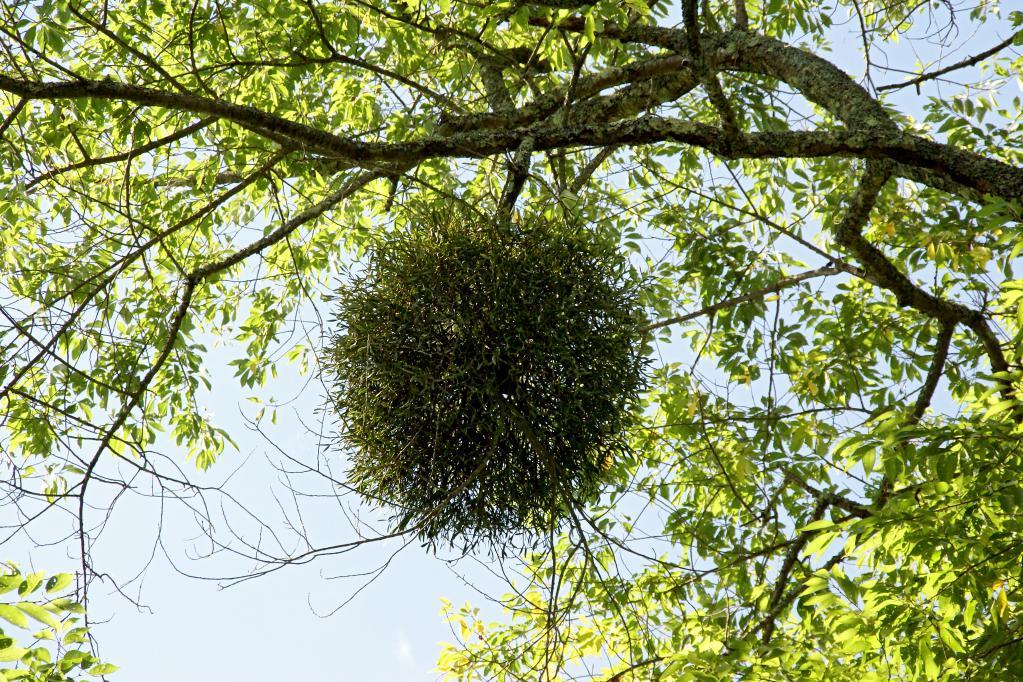 омела ивная фото где растет косточку