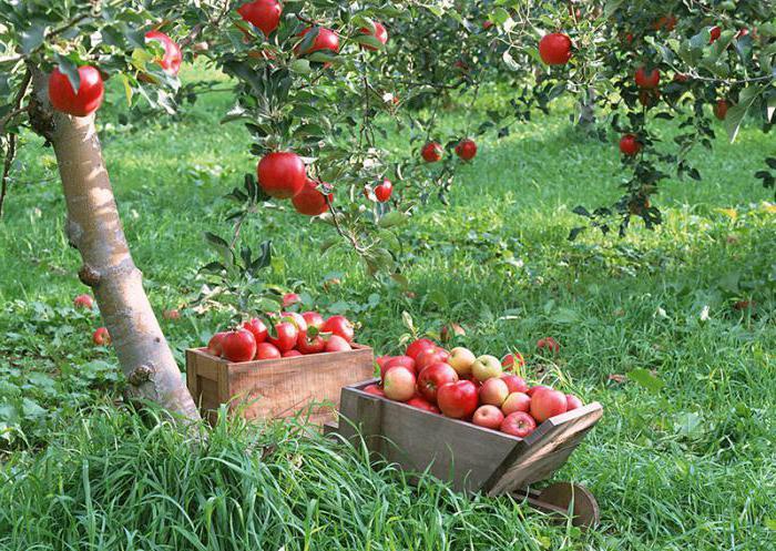 как размножать яблони