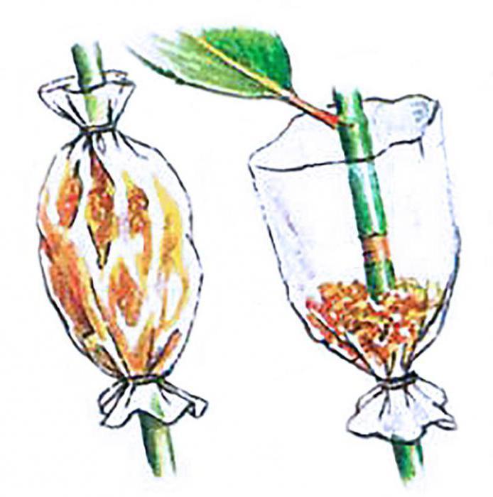 Как размножать яблони: способы, советы садоводов