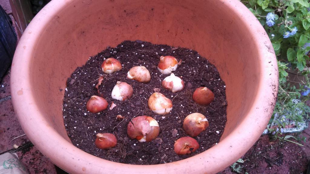 Как сажать лилии луковицами в горшок 78