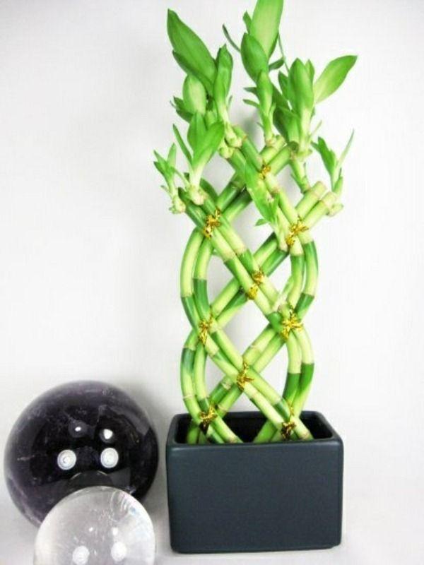 Купить бамбук растение в москве