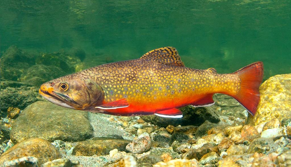 питьевая рыба из красной книги украины фото речная осенью