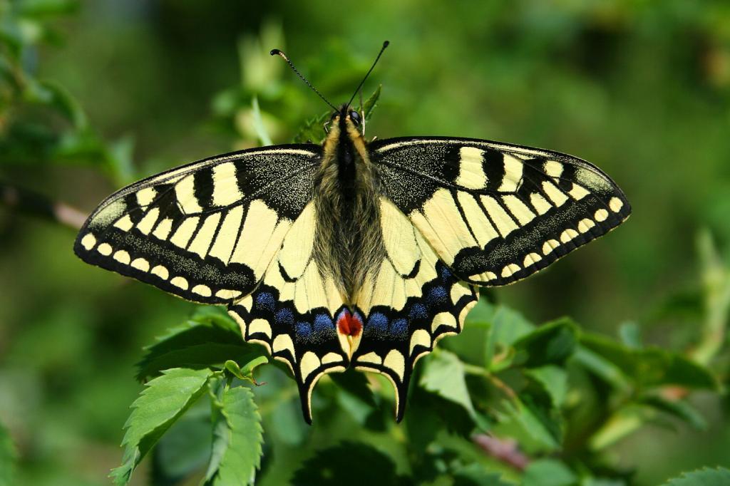 Породы бабочки: названия, описание, фото