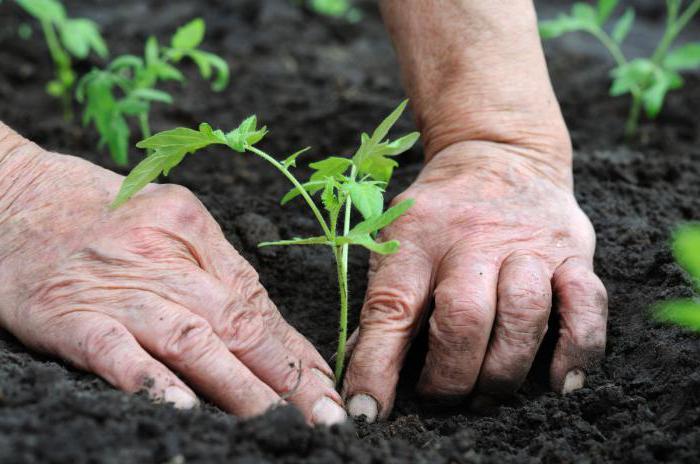 как садить и растить люффу мочалку