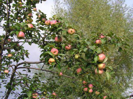 яблоня летнее полосатое фото описание