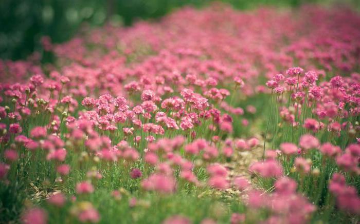 клевер розовый