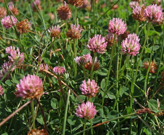 розовый клевер лечебные свойства