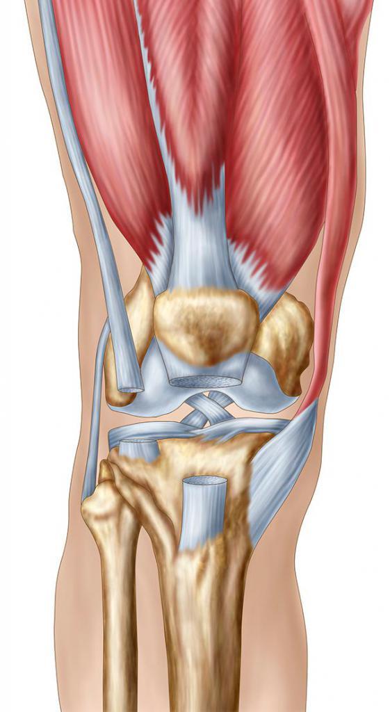 Картинки мышц коленного сустава
