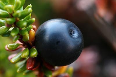 Водяника черная: выращивание и уход