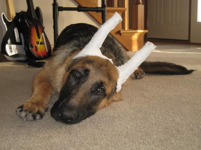 Почему у собаки не встает одно ухо