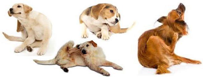 Дексаметазон для собак