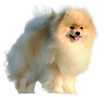 Миниатюрный шпиц: описание породы собак и фото