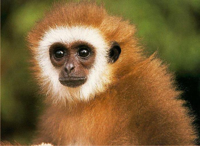 человек под знаком обезьяны