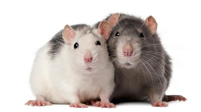 крыса содержание кормление