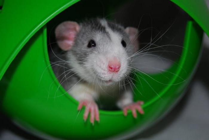 условия содержания крыс
