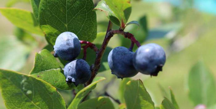 Как и где растет голубика в России, полезные свойства ягод