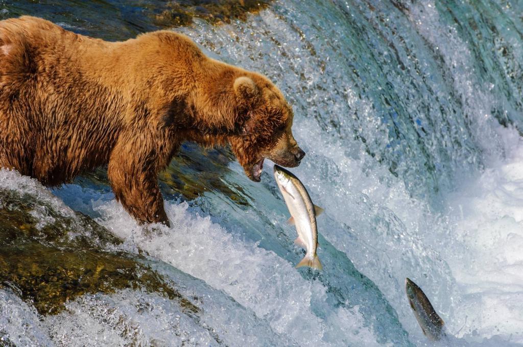 Гризли ловит лосося