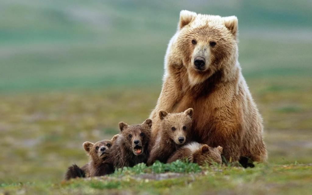 медведица и четыре медвежонка