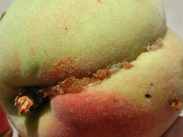 Восточная плодожорка фото