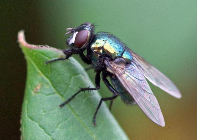 Большая муха