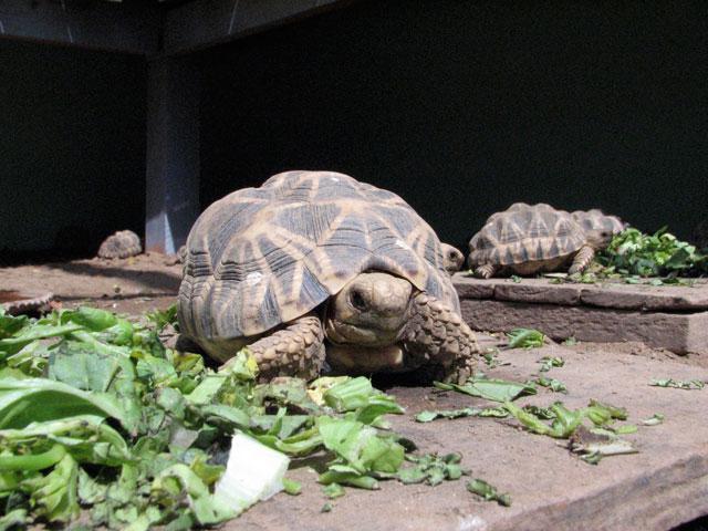 Среднеазиатская черепаха содержание и уход в домашних