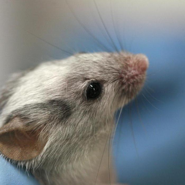 игольчатая мышь
