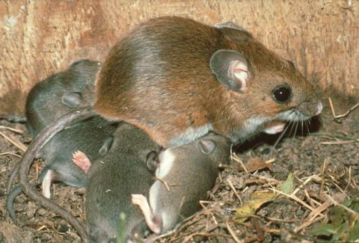 сколько живет игольчатая мышь